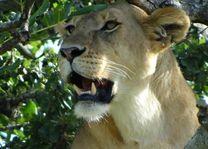 Close up leeuwin in schaduw - Serengeti - Tanzania