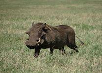 Wild zwijn - Ngorongoro Crater - Tanzania