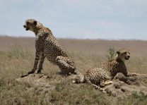 Cheetahs - Serengeti - Tanzania