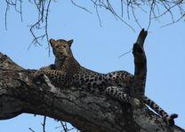 Luipaard in Serengeti - Serengeti - Tanzania - foto: Lokale agent