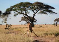 Giraffe in Serengeti - Serengeti - Tanzania