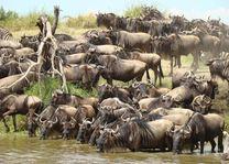 Kudde gnoes in Serengeti - Serengeti - Tanzania - foto: Lokale agent