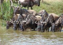 Kudde gnoes in Serengeti - Ngorongoro - Tanzania