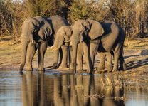 Afrikaanse olifant - Tanzania - foto: Archief
