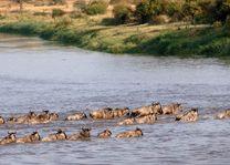 Gnoe's bij Mara under Canvas - Mara under Canvas - Tanzania - foto: Mara under Canvas
