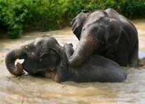 Twee olifanten samen in het water - Khao Sok - Thailand - foto: Elephant Hills