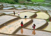 Vrouwen werken op rijstterrassen - Omgeving Chiang Mai - Thailand