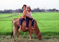 kinderen op koe - Vietnam