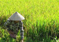 lokale rijst aan het oogsten in Mu Cang Chai - Mu Cang Chai - Vietnam - foto: Mieke Arendsen