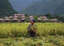 vrouw in een rijstveld in de omgeving van Mai Chau Ecolodge - Mai Chau Ecolodge - Vietnam - foto: Mai Chau Ecolodge