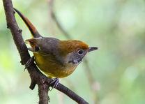 vogel in Doi Inthanon National Park - Thailand  - foto: flickr