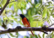 Vogel - Belum Rainforest - Banding Island - Maleisië - foto: flickr