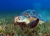 zeeschildpad tijdens snorkelen op Komodo - Indonesie - foto: Seatrek Bali