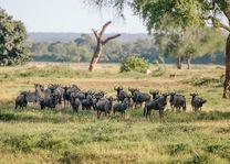 zebra's en gnoe's - Gonarezhou National Park - Zimbabwe - foto: Lokaal agent