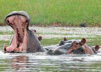 nijlpaarden tijdens boottocht - Matusadona National Park & Kariba - Zimbabwe