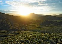 Zonsondergang - theeplantage - Cameron Highlands - Maleisië - foto: Tourism Malaysia