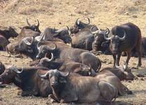 buffel - Kruger/Safari - Zuid-Afrika