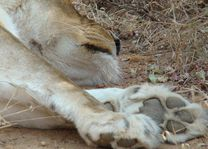 leeuw detail - Kruger/Safari - Zuid-Afrika