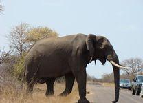 olifant - Kruger/Safari - Zuid-Afrika