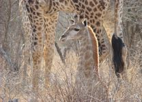 giraffe - Kruger/Safari - Zuid-Afrika