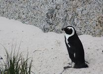 pinguin, boulders beach - Kaapstad - Zuid-Afrika