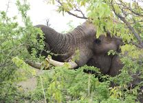 olifant - kruger - Zuid-Afrika