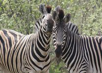 zebra's - Zuid-Afrika