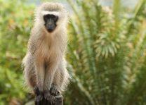 vervet Hluhluwe Game Reserve - Hluhluwe Game Reserve - Zuid-Afrika