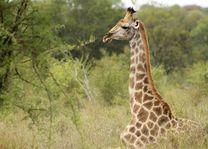 giraffe Kruger National Park - Kruger National Park - Zuid-Afrika