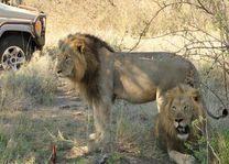 leeuwen Kruger National Park - Kruger National Park - Zuid-Afrika