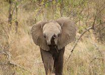 jonge olifant Kruger National Park - Kruger National Park - Zuid-Afrika