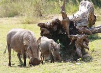Wilde zwijnen Kololo Game Reserve - Kololo Game Reserve - Zuid-Afrika - foto: Esther van den Berg