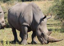 Neushoorn - Welgevonden Game Reserve - Zuid-Afrika - foto: Esther van den Berg