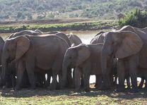 olifanten - Addo Elephant National Park - Zuid-Afrika