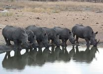 Neushoorn drinkend - Timbavati - Zuid-Afrika - foto: Martijn Visscher