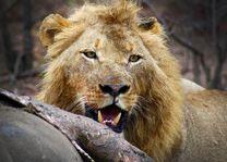 Leeuw met kill - Africa on Foot - Zuid-Afrika - foto: Martijn Visscher