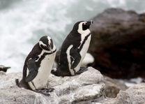 Betty's Bay, pinguins - Pringle Bay - Zuid-Afrika - foto: Martijn Visscher