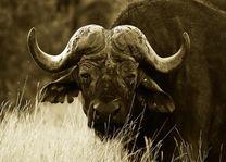 Hluhluwe - iMfolozi buffel - Hluhluwe - iMfolozi - Zuid-Afrika - foto: Agent