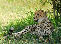 Hluhluwe - iMfolozi cheetah - Hluhluwe - iMfolozi - Zuid-Afrika - foto: Agent