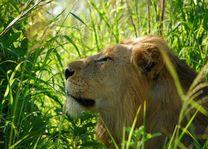Hluhluwe - iMfolozi leeuw - Hluhluwe - iMfolozi - Zuid-Afrika - foto: Agent