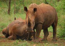Mkhuze witte neushoorns - Mkhuze - Zuid-Afrika