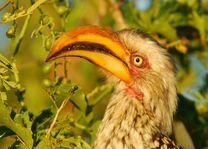 Mkhuze neushoornvogel - Mkhuze - Zuid-Afrika