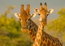 Mkhuze giraffen - Mkhuze - Zuid-Afrika