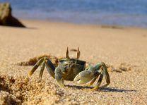 iSimangaliso krab - iSimangaliso - Zuid-Afrika - foto: Agent