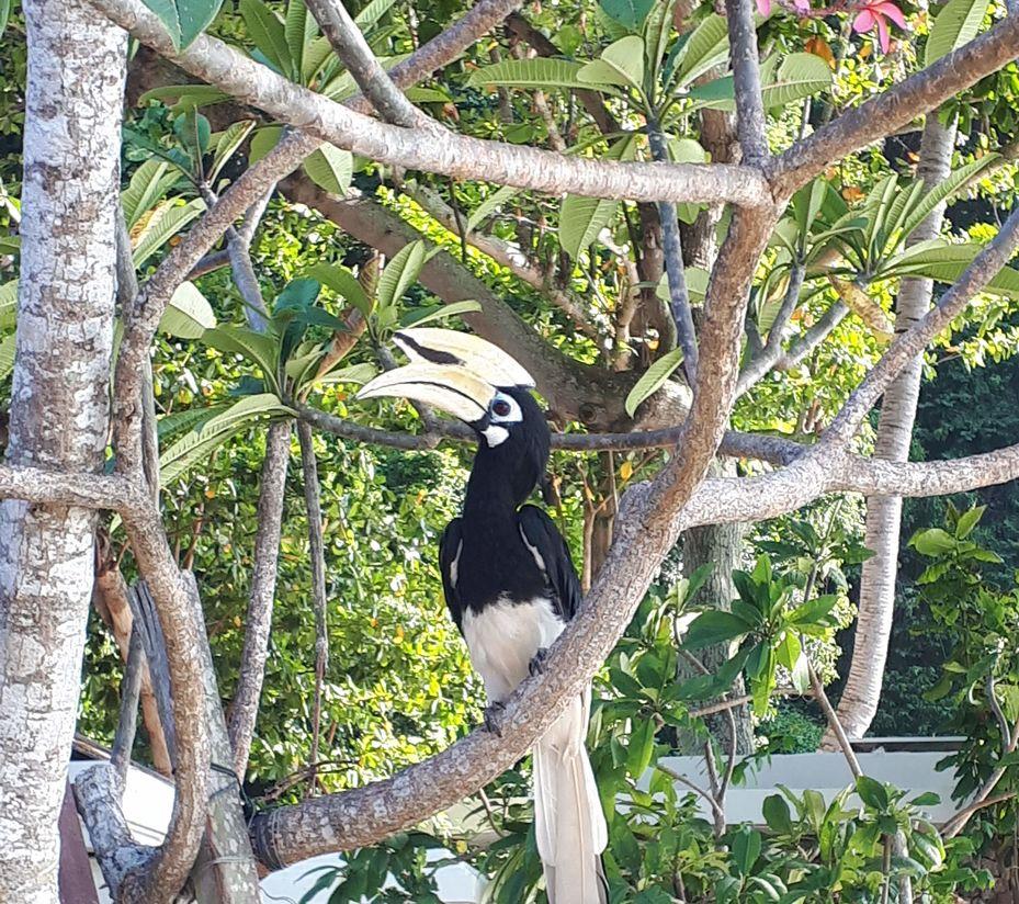 Hornbill op Pankor Laut in Maleisië (klantfoto)