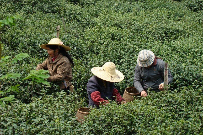 theeplantage china - Amanfuyan - Hangzhou - China