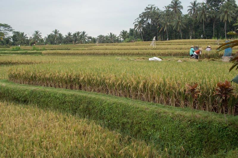 uitzicht rijstveld vanuit Tanah Cinta Village - Tanah Cinta Village - Indonesië