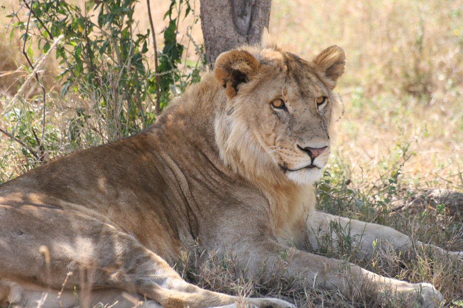 leeuw in Tanzania (klantfoto) - foto: klantreactie