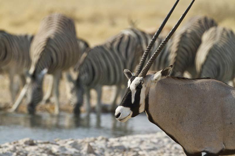 oryx en zebra in Ongava - Etosha - Namibië - foto: lokaal agent