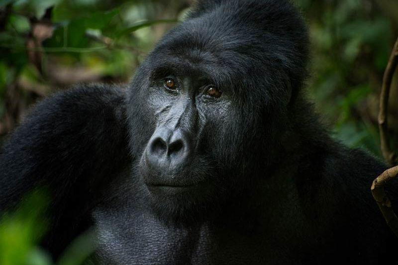 Prijsverhoging gorilla permits Oeganda
